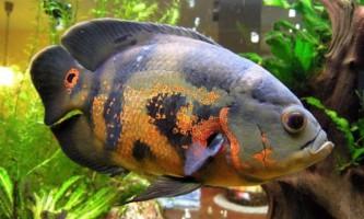 Що за рибки - астронотуси?