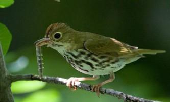 Щоб убезпечити свої гнізда, птахи `` підслуховують `` розмови хижаків