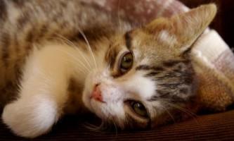 Чумка у кішок - причини, симптоми і лікування