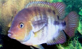 Ціхлазома седжіка: опис рибки