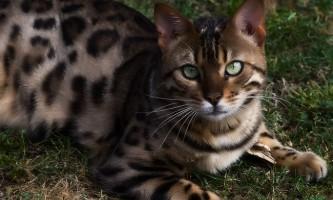 Ціпровет для кішок
