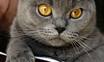 Цистит у кішок: симптоми, лікування, профілактика