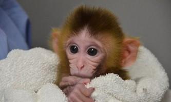 Створена перші в світі генетично модифіковані мавпи