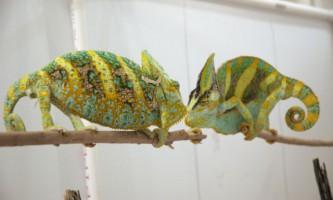 Колір хамелеона може передбачити результат дуелі
