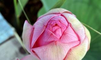 Каспійська троянда