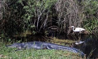 Птахи використовують алігаторів як охоронців