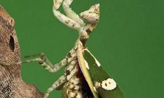 Квітковий богомол - найяскравіший з сімейства