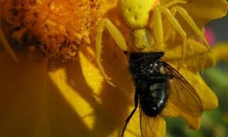Квітковий жовтий павук: павутина - не його стихія