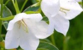 Квітка дзвіночок