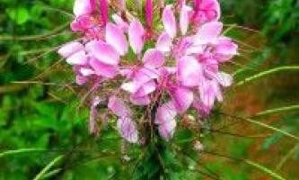 Квіти клеома