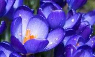 Квіти крокуси