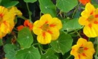 Квіти настурція