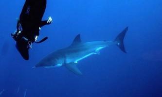 Дайвер прокотилася на великої білої акули біля берегів гаваїв