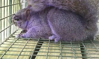 Фіолетова білка була спіймана в пенсільванії