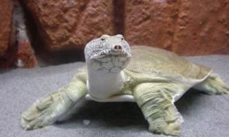 Далекосхідна черепаха (китайський трионикс)