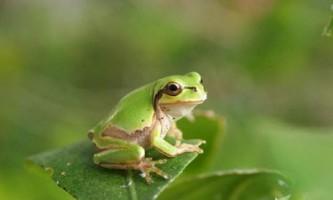 Далекосхідна квакша: особливості життя та розмноження