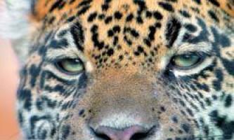 Далекосхідний леопард (panthera pardus orientalis)
