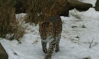 Далекосхідний леопард - велична таежная кішка