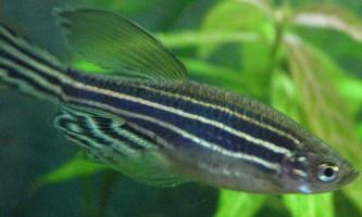 Даніо-реріо: акваріумні риби з сімейства коропових