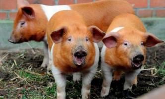 Данські протестні свині (дат. Husum protestsvin)
