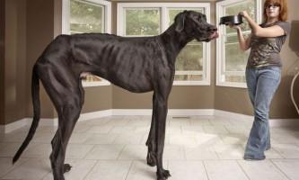 Датський дог на прізвисько зевс - найвища собака в світі