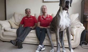 Датському догу по кличці майор - найвища собака в світі