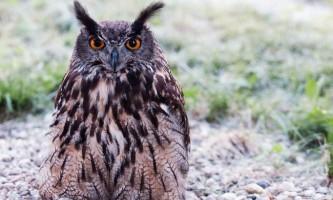 Чи справді сови сліпі вдень?