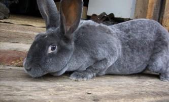 Декоративні кролики: породи і особливості змісту