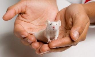 Декоративні миші і утримання їх в домашніх умовах