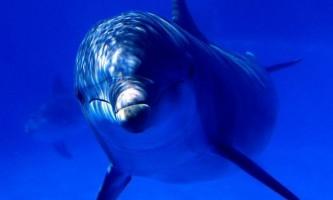 Дельфін-шпигун на службі у ізраїльської розвідки
