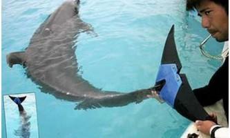 Fuji - перший дельфін з плавником-протезом