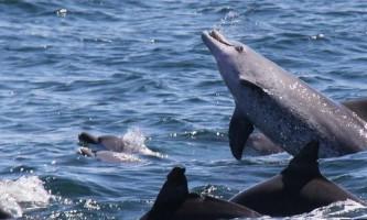 Дельфіни продемонстрували незвичайне міжгруповое об`єднання