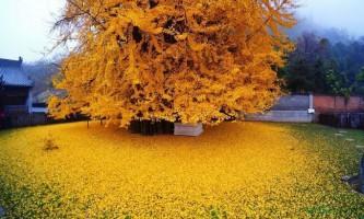 Дерево гінкго - живу копалину
