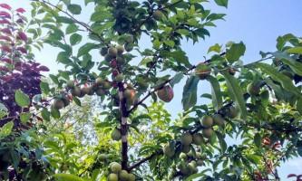 Дерево сорока фруктів