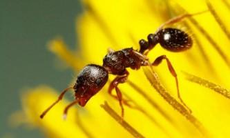 Дерновий мураха: фото, опис