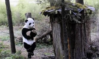 Вчені перетворилися в панд заради маленького ведмежати