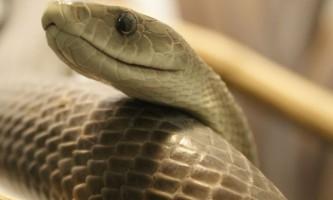 Десять найбільш отруйних змій на планеті