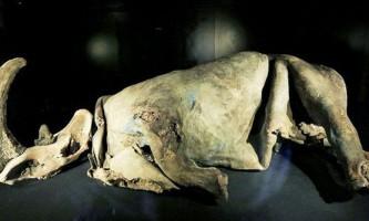 Дитинча чорного носорога вперше викупали
