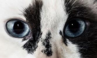 Діагностика і лікування кон`юнктивіту у кішок