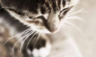 Діагностування і лікування дерматиту у кішок