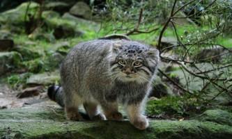 Дика кішка манул (палласом кіт)