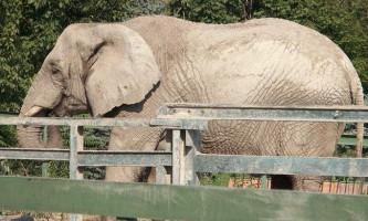 Дика слониха з китаю затоптав 15 машин