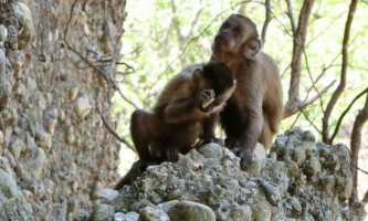 Дикі мавпи в бразилии створюють кам`яні ножі