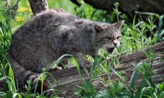 Дикий лісовий кіт: все про життя предка домашніх кішок