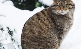 Дикий лісовий кіт