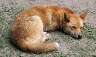 Дінго - собака, яка не гавкає