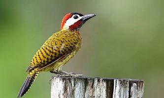 Дятел - птах з цру. Опис. Фото.