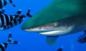 Довгокрила акула (carcharhinus longimanus)