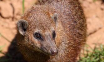 Довгоноса кузіманза: тварина з незвичайною назвою