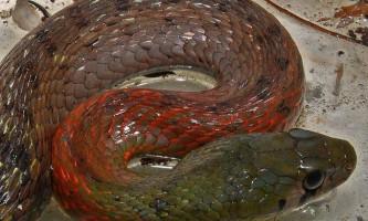 Дліннозубий в`єтнамський вже - отруйна змія